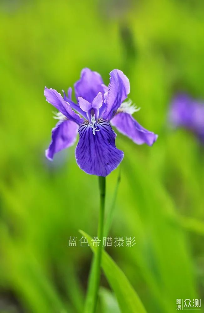 暮春,我镜头里的紫色鸢尾花,翩翩起舞_新浪众测