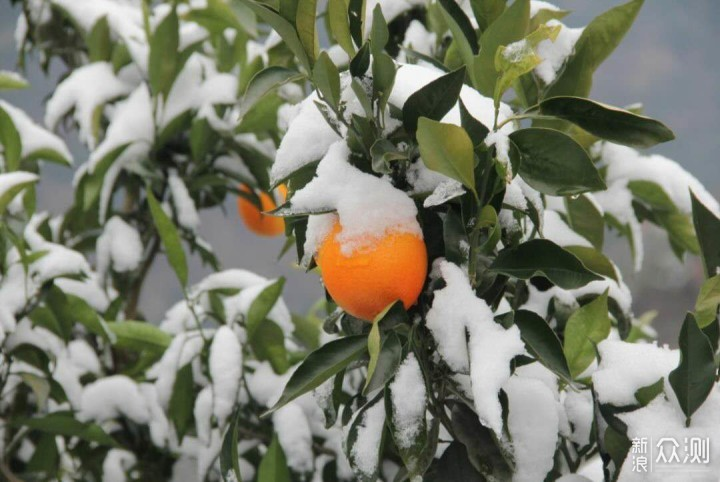 聊一聊罗老师直播带货的秭归脐橙——伦晚。_新浪众测